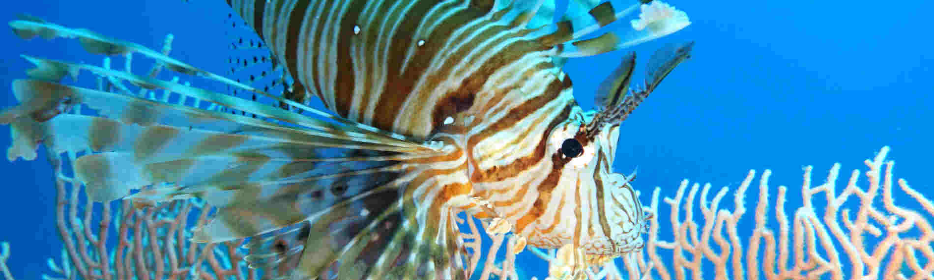 Ägypten - Dahab - Lagona Divers Nord - Rotfeuerfisch