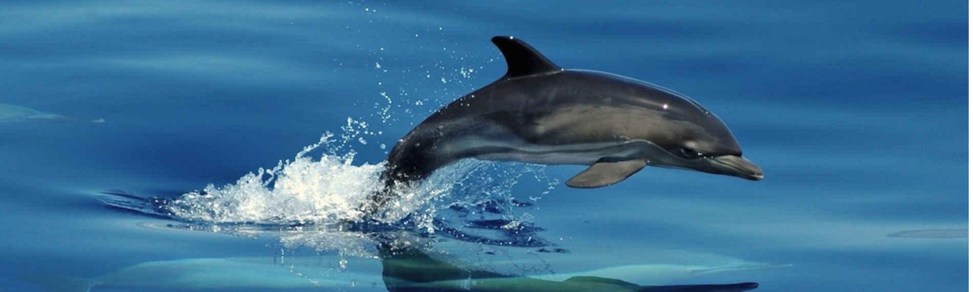 Azoren - Dive Azores - Delphin