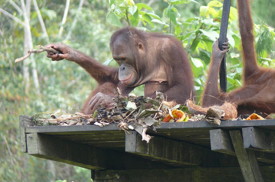 Orang Utan Insel / Schutzstation Sun Bears