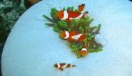 Bali - Anemonenfische