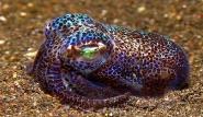 Bali - Bobtailsquid by Gerald Nowakr