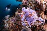 Indonesien - Nordsulawesi - Murex Bangka - Frogfish