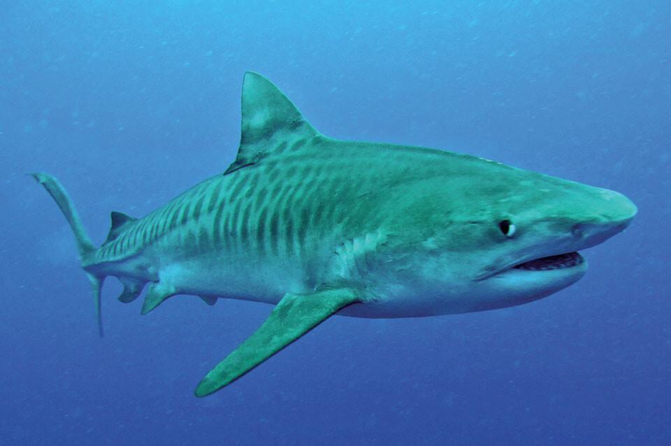 Südafrika - Tigerhai