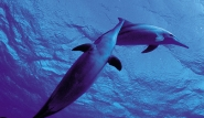 Pemba - Spinnerdelfine