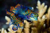 Bunaken - Seabreeze Unterwasserwelt, Mandarin Pärchen