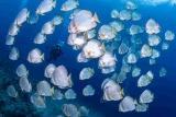Nordsulawesi - Murex Manado - Batfish - Bunaken Nationalpark