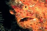 Borneo - Frogfish