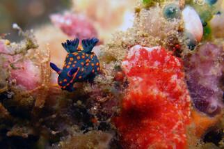 Bunaken - Seabreeze, Blue & Orange Nudi