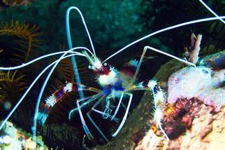 Malapascua - Unterwasser ©  DevOcean
