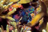 Cebu - Moalboal - Magic Island Divecenter - Mandarinfische