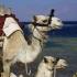 Dahab Kamele