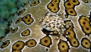 Bali - Krabbe by ORCA Dive Club